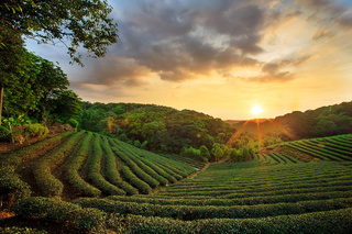 tea plantation landscape sunset - monte mare