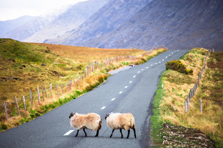 Sheeps in the middle of the road in Ireland - monte mare